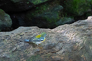 Prob. a Northern Parula Warbler on it's migration to Latin America, in the Ramble of Central Park.