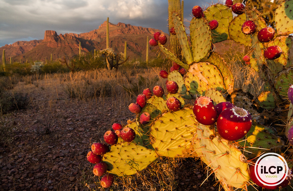 15. A prickly pear cactus (Opuntia spp) with fruit in Organ Pipe Cactus National Monument, Arizona, USA. August 2008