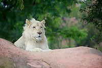 Fintan a rare African White Lion in Toronto Zoo summer of 2013.