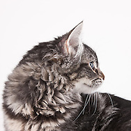 Domestic Long Hair Cat sitting on a white seamless background.  The 4 month old kitten was photographed while waiting for adoption at the humane society.  Pet photography by Michael Kloth.