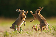 European Hare (Lepus europaeus) adults boxing in set-aside field, Norfolk, UK.
