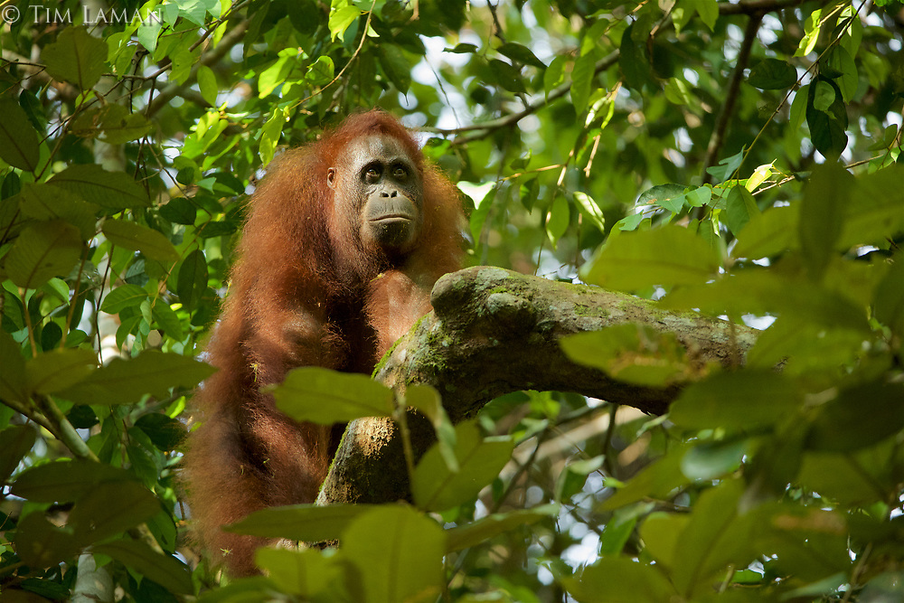 Bornean Orangutan <br />