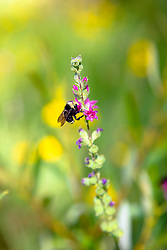 """Carpenter Bee in Tahoe"" - Photograph of a carpenter bee on a flower along Alder Creek, Truckee in the Tahoe area."