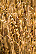 close up of ripe heavy and hanging wheat head