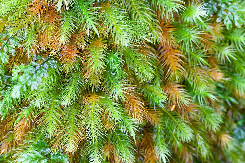 Green moss,  Dharug National Park, NSW Australia