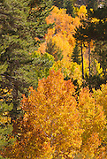 Golden fall aspens along Rush Creek, eastern Sierra Nevada Mountains, California