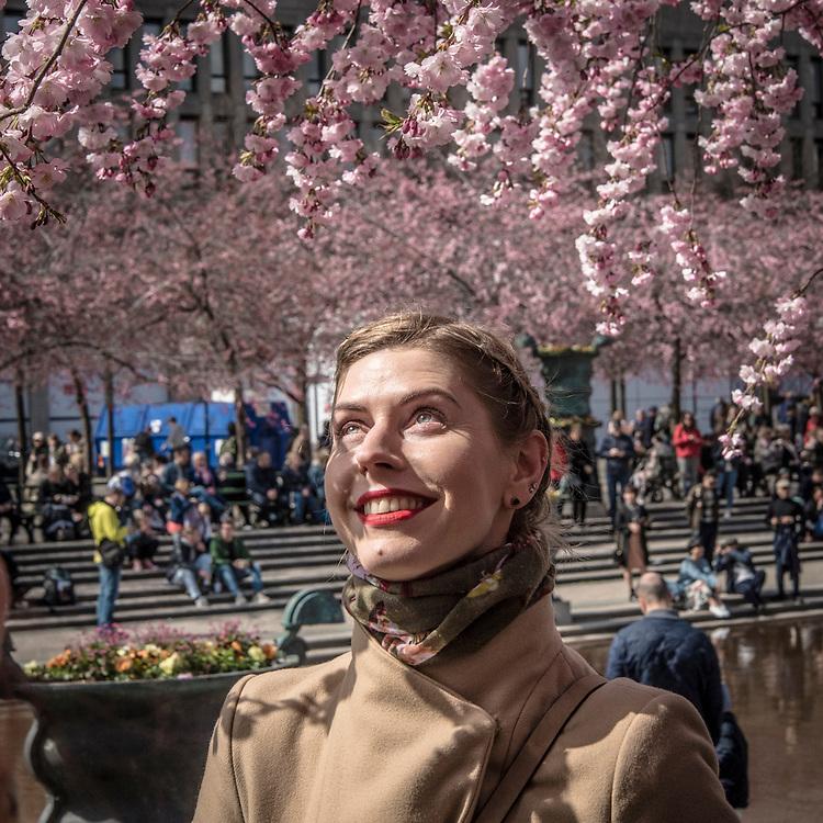Körsbärsträden står i blom