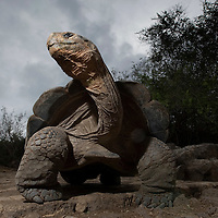 Ecuador, Galapagos Islands National Park, Santa Cruz Island, Puerto Ayora, Flash image of Giant Tortoise (Geochelone elephantopus)  in enclosure at Darwin Research Station