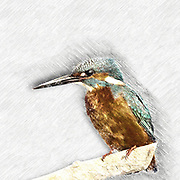 Digitally enhanced image of a Common Kingfisher (Alcedo atthis) perched on a branch