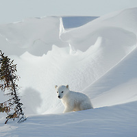 Three-month-old Polar Bear Cub exploring the area close to its day den.
