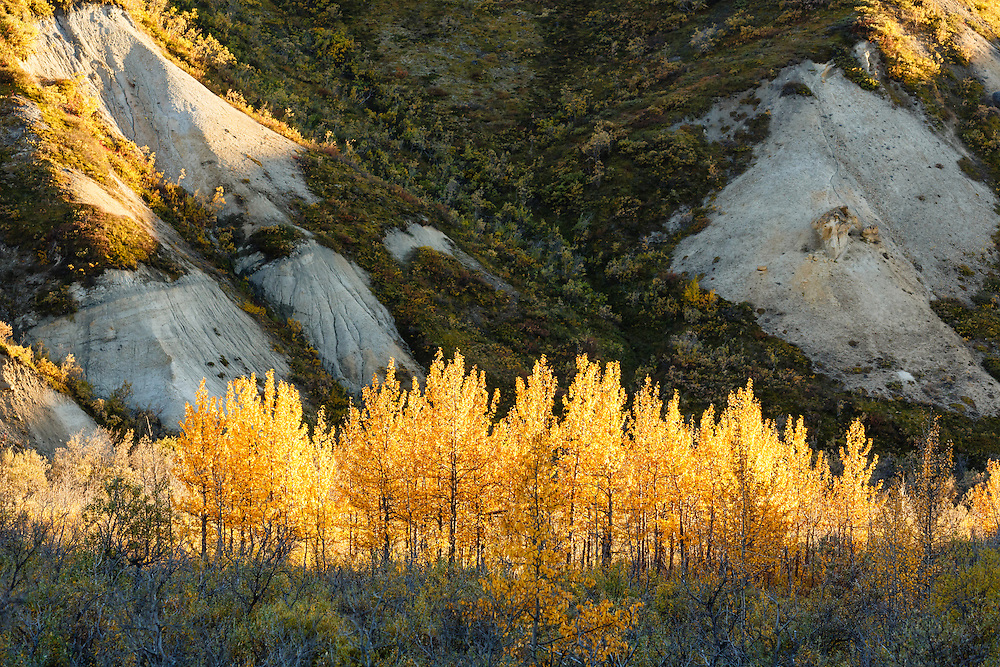 Trees backlit by a setting sun stand out in Sable Pass in Denali National Park in Interior Alaska. Autumn.