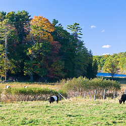 Belted Galloway cows at the Albermarle Farm in Camden, Maine.  Fall.