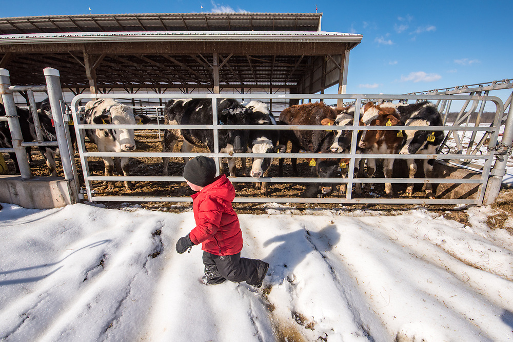 Young toddler boy runs through snow past a gate of curious dairy cows, Taneytown, Maryland