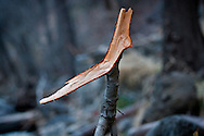 Tree branch resembling an attacking serpent - Oak Creek Canyon, AZ