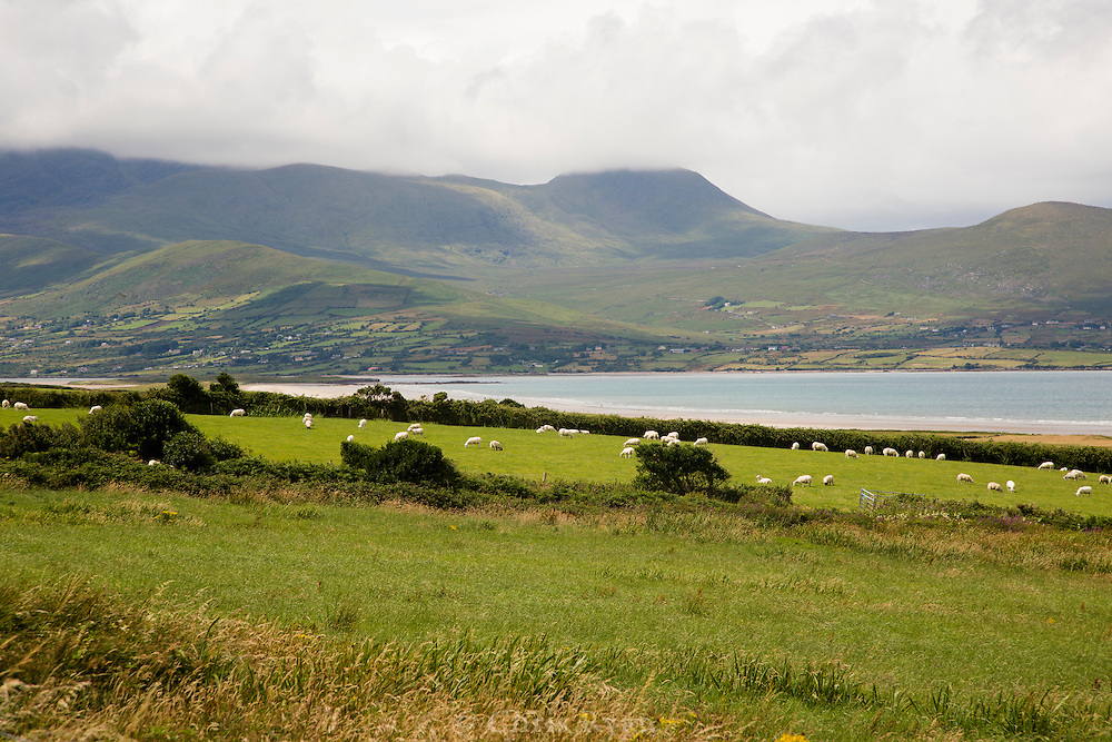 Sheep grazing on Dingle Peninsula, County Kerry, Ireland