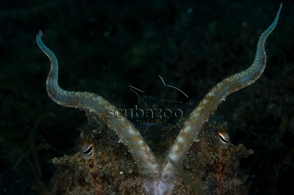 Smith's Cuttlefish, Sepia smithi, Kungkungan Bay Resort, Lembeh Strait, North Sulawesi, Indonesia.