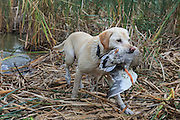 A Yellow Labrador Retriever brings back a banded mallard during a Manitoba hunt.