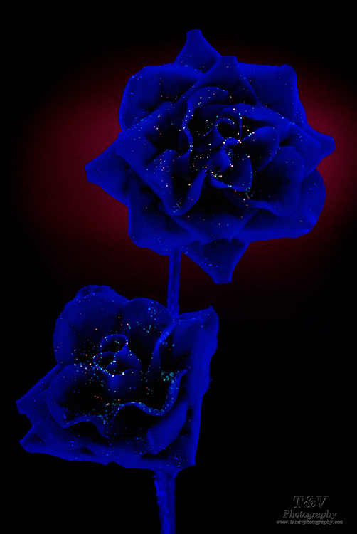 Two blue rose buds sprinkeled with glowing dots of color. Blackklight Photography