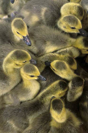 Canada Goose, (Branta canadensis) Group of goslings huddled together.  Captive Animal.