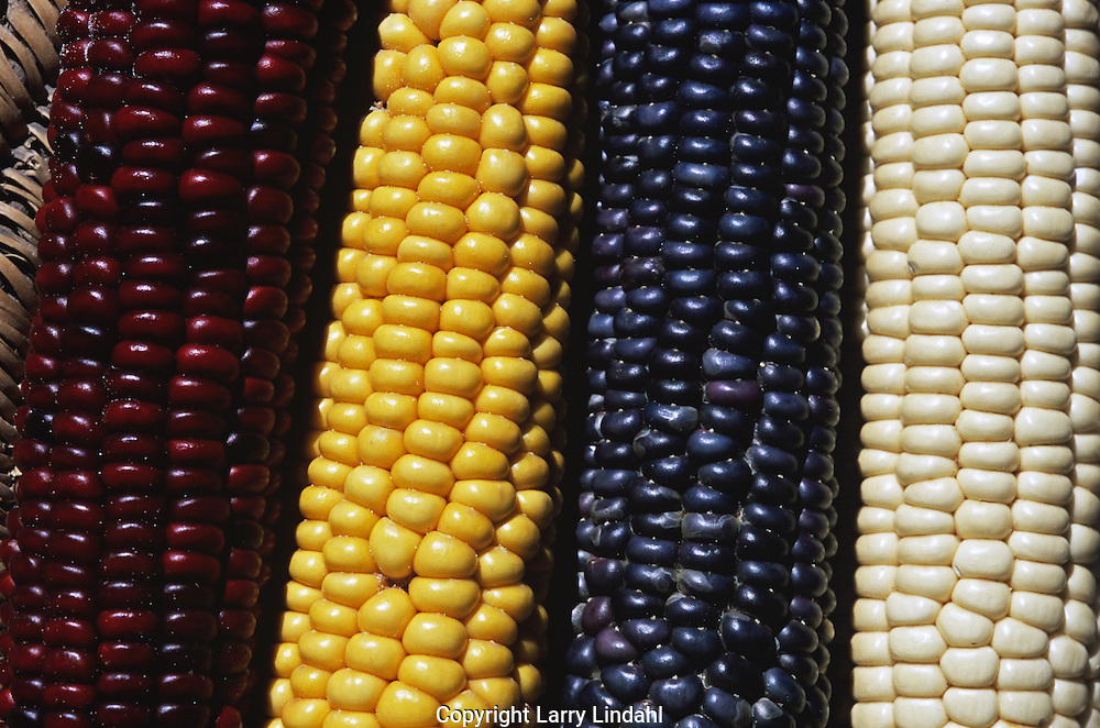 Hopi, corn, Native American, Indian, Arizona,