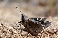 Megathymus yuccae martini - Yucca Giant-Skipper
