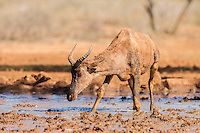 Tsesebe wading through a muddy pool to drink, Mokala National Park, Northern Cape, South Africa