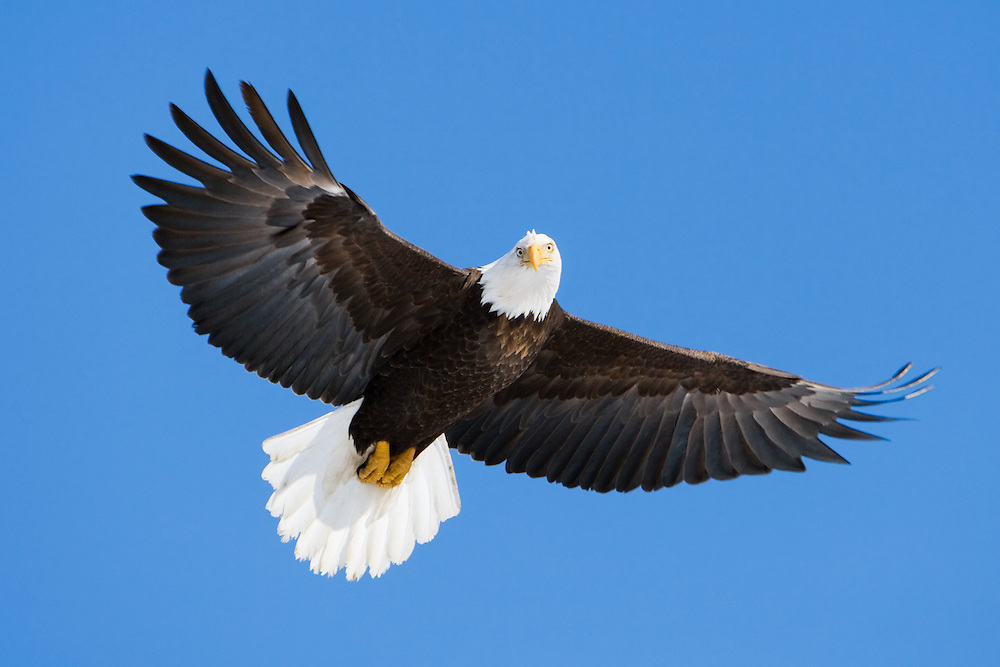 Bald Eagle (Haliaeetus leucocephalus) flying in search of food in Eagle River, Alaska. Southcentral. Winter. Morning.