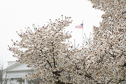 A view of blossom on a tweet in front of the White House in Washington. From a series of travel photos in the United States. Photo date: Thursday, March 29, 2018. Photo credit should read: Richard Gray/EMPICS