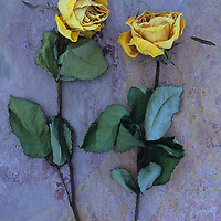 Two dried yellow roses or Rosa lying with their stems and leaves on pink and orange rough slate