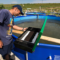 A feeding machine disposing pellets to sturgeons at a sturgeon farm raising mainly starry sturgeons, Acipenser stellatus, also known as stellate sturgeon. The starry sturgeon is considered critically endangered by the IUCN and international trade in this species (including its caviar) is restricted by CITES. This farm Kavoar House is located outside Horia village, close to Danube Delta, Romania.