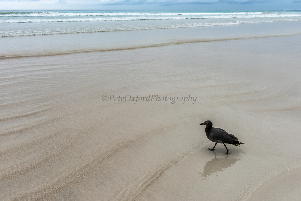 Lava gull (Leucophaeus fuliginosus)<br /> Tortuga Bay<br /> Santa Cruz Island<br /> Galapagos<br /> Ecuador, South America<br /> ENDEMIC