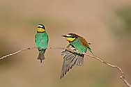 Bee-eater - Merops apiaster L 26-29cm.Stunning bird that catches insects in flight. Sometimes perches on dead branches. Sexes are similar. Adult has chestnut crown and nape, grading to yellow on back and rump; uppertail is green and note 2 projecting central tail feathers. Underparts are blue except for black-bordered yellow throat. In flight, wings are chestnut and blue above. Juvenile is duller and lacks tail projections. Voice Utters a bubbling pruuupp call. Status Has bred here but best known as a rare migrant visitor in spring and autumn.