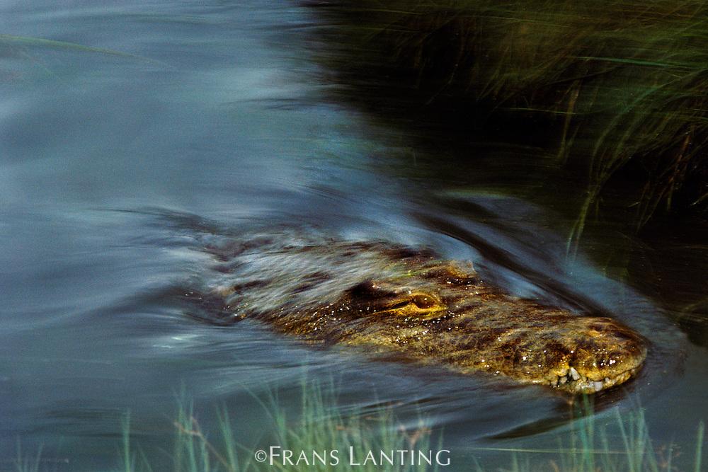 Nile crocodile swimming, Crocodylus niloticus, Okavango Delta, Botswana