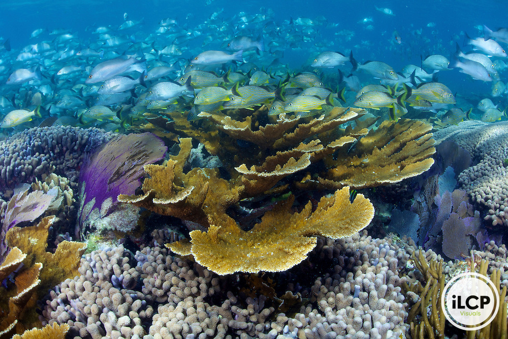 A healthy Mesoamerican Barrier Reef ecosystem that includes large schools of fish such as grunts and snapper as well as endangered Elkhorn Coral (Acropora palmate) within Limones, National Park, Puerto Morelos, Mexico.