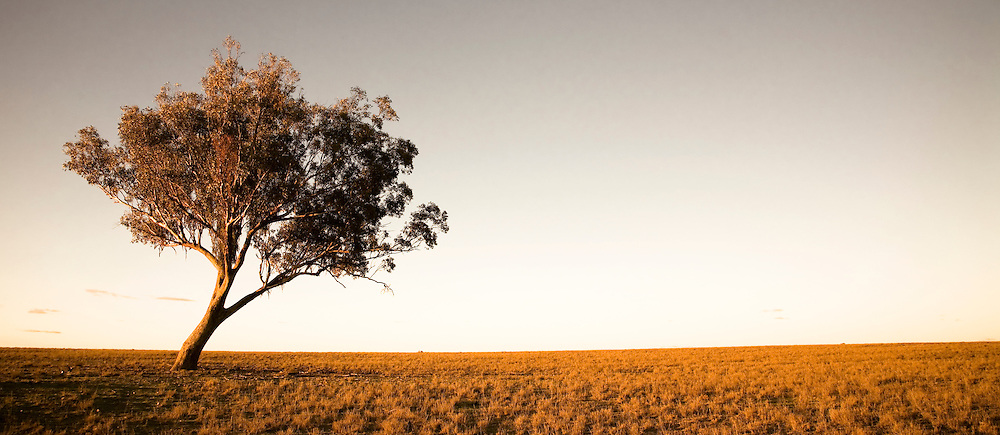 The sun sets casting a strong light on a eucalyptus in the outback, Australia