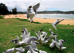 AUSTRALIA NEW SOUTH WALES THE ENTRANCE 16FEB08 - Seagulls gather around some discarded food at The Entrance, coastal New South Wales, Australia...jre/Photo by Jiri Rezac..© Jiri Rezac 2008..Contact: +44 (0) 7050 110 417.Mobile:  +44 (0) 7801 337 683.Office:  +44 (0) 20 8968 9635..Email:   jiri@jirirezac.com..Web:    www.jirirezac.com..© All images Jiri Rezac 2008 - All rights reserved.