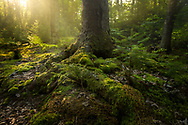 Sunlight bursts through a foggy forest near the Lake Superior shore.<br /> Pictured Rocks National Lakeshore