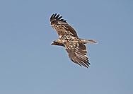 Spanish Imperial Eagle - Aquila adalberti - 4th calendar year