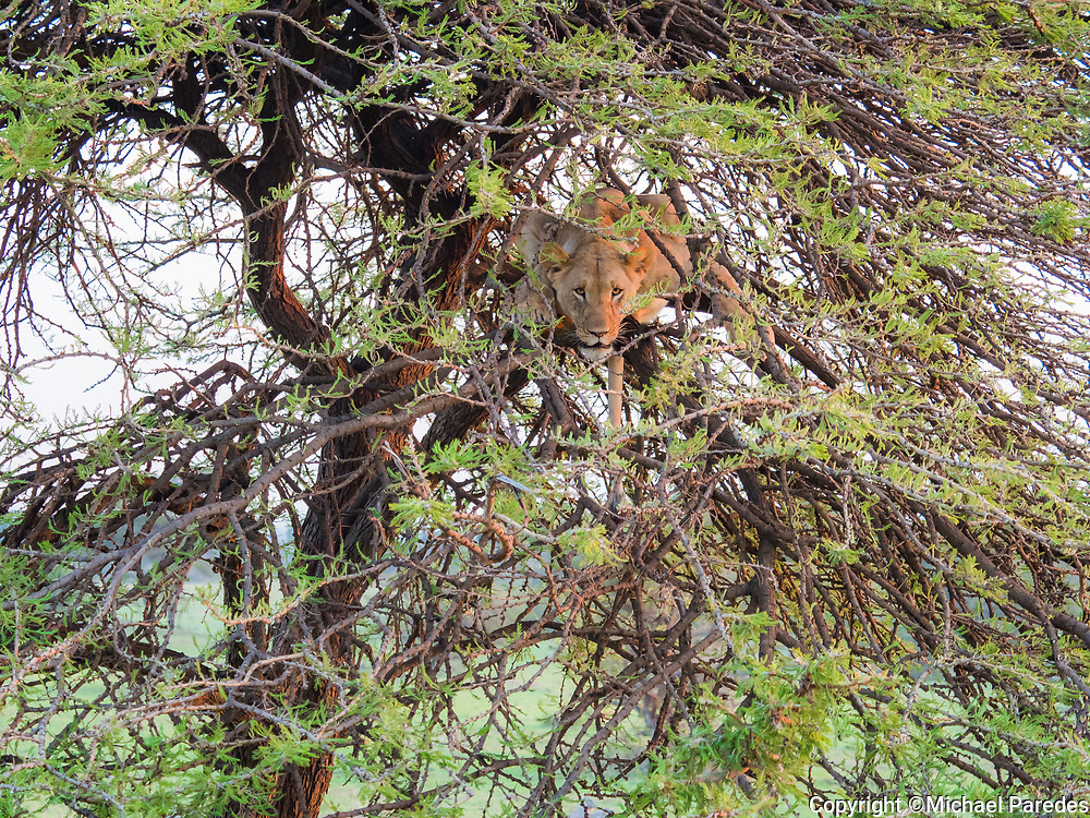 A lioness escapes the ground flies by fleeing up a tree in Kenya's Masai Mara