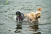 Dogs swim to retrieve balls from the water.