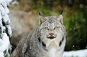 Captive Lynx  at  Krochel Wildlife Center near Haines, Alaska