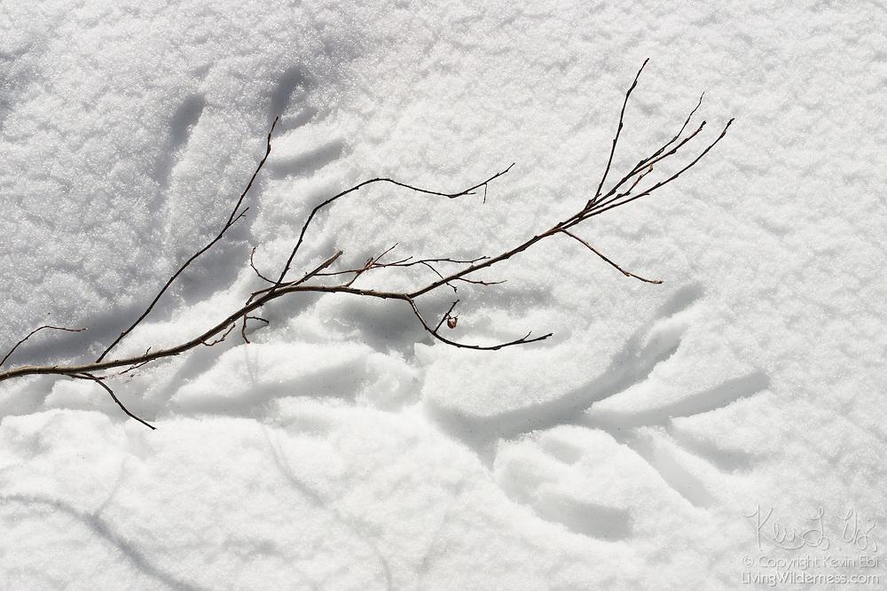 A tree branch leaves an impression in the snow in the Central Cascades of Washington state.