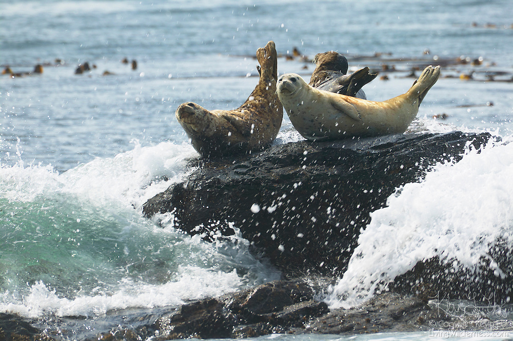 Several Harbor Seals (Phoca vitulina) attempt to sun themselves on the rocky shore of the Strait of Juan de Fuca off Vancouver Island, but they are constantly interrupted by crashing waves.