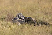 Giant anteater<br /> Myrmecophaga tridactyla<br /> Mother and baby<br /> Serra de Canastra National Park, Brazil