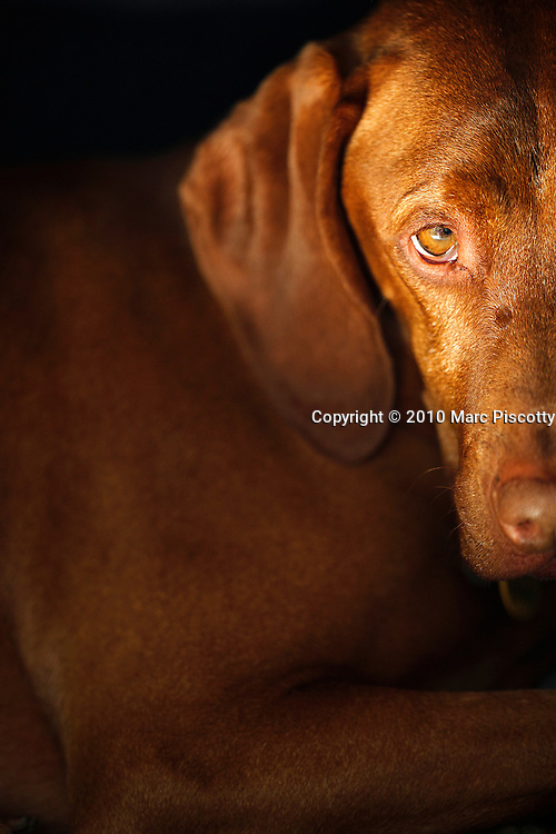 SHOT 4/11/10 12:36:52 PM - Tanner, a male five year-old Vizsla, glances up while sleeping in his crate at his home in Denver, Co. The Vizsla, is a dog breed originating in Hungary. The Hungarian or Magyar Vizsla represents one of the best in sporting dogs and loyal companions and has a strong claim to being one of the smallest of the all-round pointer-retriever breeds. The Vizsla's size is one of the breed's most attractive characteristics and through the centuries he has held a unique position for a sporting dog -- that of household companion and family dog. The Vizsla is a natural hunter endowed with a good nose and an above average trainability. Although they are lively, gentle mannered, demonstrably affectionate and sensitive, they are also fearless and possessed of a well-developed protective instinct. (Photo by Marc Piscotty / © 2010)