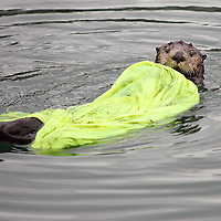 A sea otter wears a cheap raincoat it pulled from a dock in Cordova, Alaska's harbor. The otter played with the coat for 2 days, but left the pants laying on the dock.