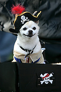 31st October 2009. Long Beach, California. The Haute Dog Howl'oween Parade in Long Beach. Pictured is Tico the chihuahua as a Pirate. PHOTO © JOHN CHAPPLE / www.chapple.biz.john@chapple.biz  (001) 310 570 9100.