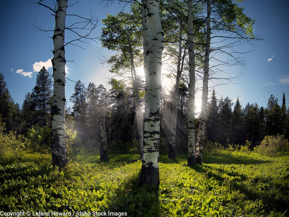 Idaho, east, Evening sunlight through aspen trees in the Caribou Mountains