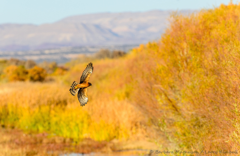 Northern Harrier [Circus cyaneus] hunting; Bosque del Apache NWR, New Mexico