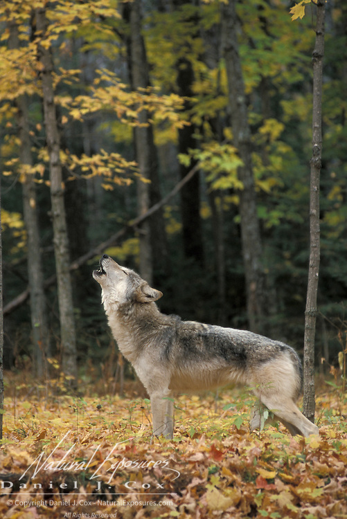 Gray Wolf (Canis lupus) howling In a hardwood forest of northern Minnesota. Captive Animal.